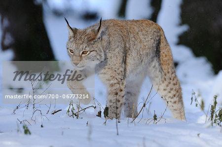 Eurasian lynx (Lynx lynx) in a snowy forest, Bavaria, Germany