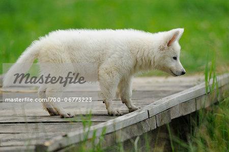 Wolfdog puppy outdoors, Bavaria, Germany