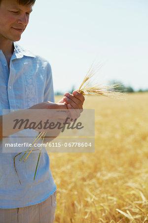 Farmer Holding Wheat Stalks In Hands, Croatia, Dalmatia, Europe
