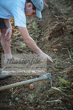 Man Working In Potato Field, Croatia, Slavonia, Europe