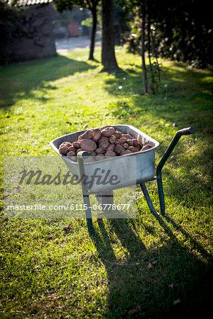 Fresh Potatoes In Wheelbarrow, Croatia, Slavonia, Europe