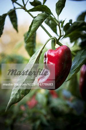 Red Chilli Peppers, Croatia, Slavonia, Europe