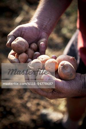 Person Holding Potatoes, Croatia, Slavonia, Europe