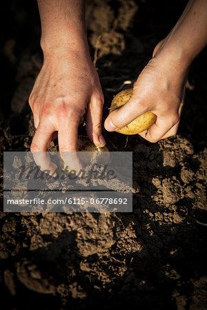 Potato Harvest, Croatia, Slavonia, Europe