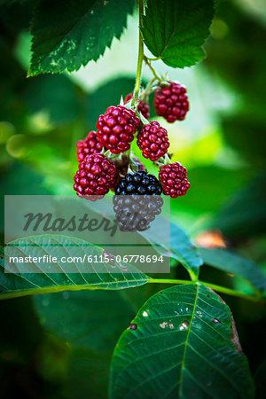 Fresh Raspberries In The Garden, Croatia, Slovania, Europe