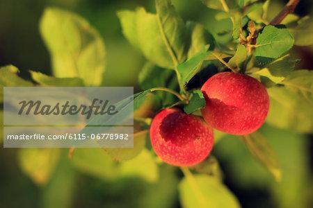 Apples On Tree, Baranja, Croatia, Europe
