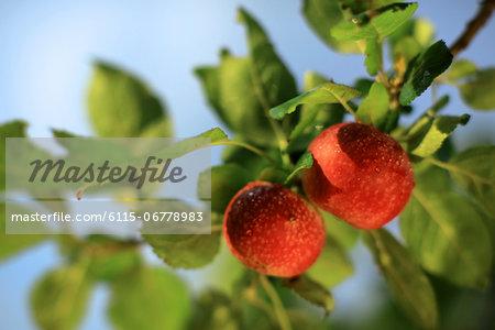Fresh Apples On Tree, Branja, Croatia, Europe