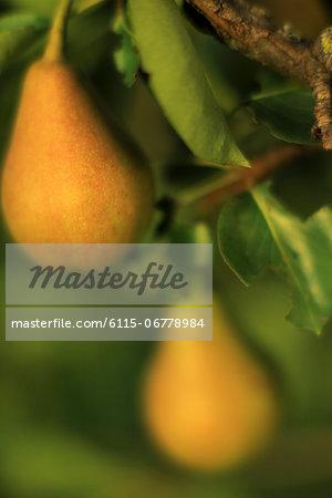 Fresh Pears On Tree, Baranja, Croatia, Europe