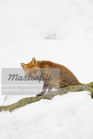 Portrait of Red Fox (Vulpes vulpes) in Winter, Gran Paradiso National Park, Graian Alps, Italy