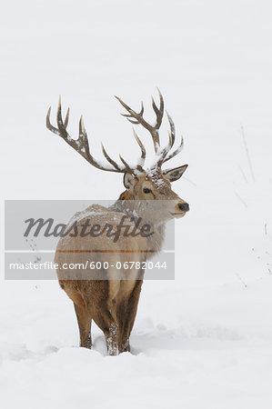 Male Red Deer (Cervus elaphus) in Winter, Bavaria, Germany