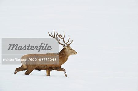Male Red Deer (Cervus elaphus) Walking in Snow in Winter, Bavaria, Germany