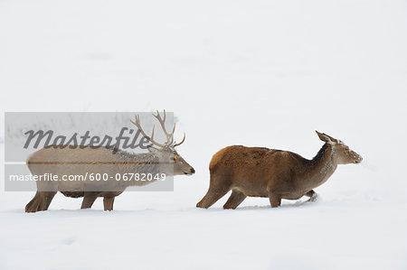Male and Female Red Deer (Cervus elaphus) in Winter, Bavaria, Germany