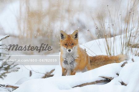 Red Fox (Vulpes vulpes) in Snowfall, Bavaria, Germany