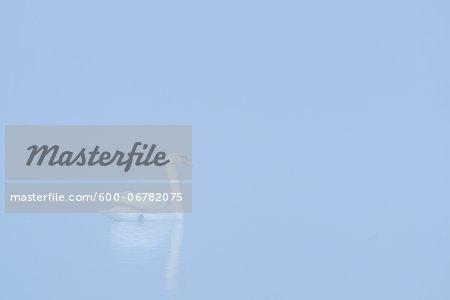 Mute Swan (Cygnus olor) on Misty Lake in Early Morning, Hesse, Germany