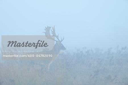 Male Fallow Deer (Cervus dama) in Morning Mist, Hesse, Germany