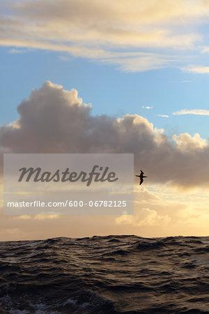 A sea bird flies over the Atlantic Ocean at sunset