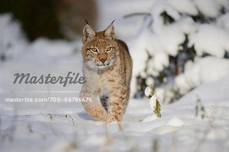 Young Eurasian lynx (Lynx lynx) walking in a snowy forest, Bavaria, Germany