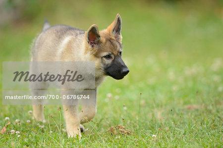 Wolfdog puppy walking on a meadow, Bavaria, Germany