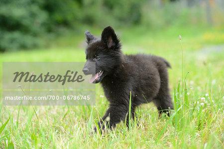 Black wolfdog puppy walking on a meadow, Bavaria, Germany