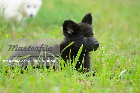 Black wolfdog puppy lying down on a meadow, Bavaria, Germany