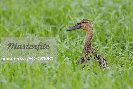 Female Mallard (Anas platyrhynchos) in Grain Field in Springtime, Hesse, Germany