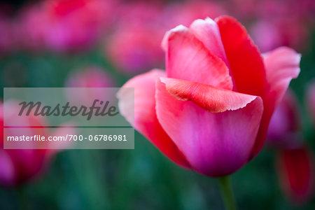Close-Up of Pink Tulip, New York City, New York, USA