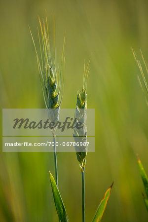 Close-Up of Green Wheat in Field, near Macon, Valdosta Monroe County Area, Central Georgia, USA