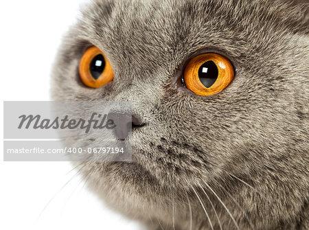 blue british shorthair cat, close up portrait