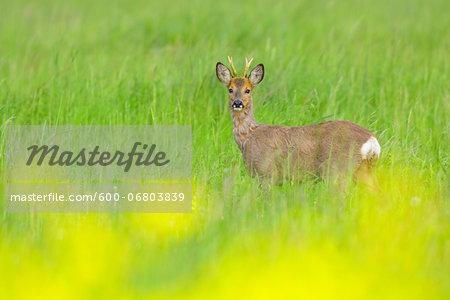 European Roebuck (Capreolus capreolus) in Field in Springtime, Hesse, Germany