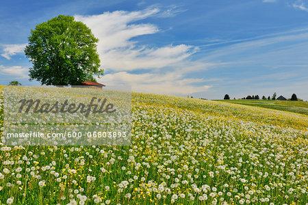 Flowers in Meadow with Beech Tree in Spring, Halblech, Swabia, Bavaria, Germany