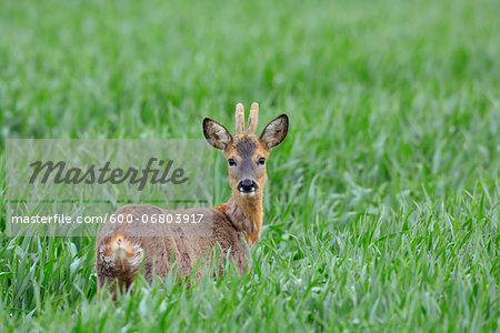 Male European Roe Deer (Capreolus capreolus) in Grain Field in Springtime, Hesse, Germany
