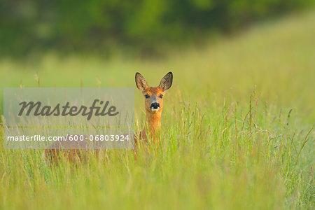 Female European Roe Deer (Capreolus capreolus) in Meadow in Springtime, Hesse, Germany
