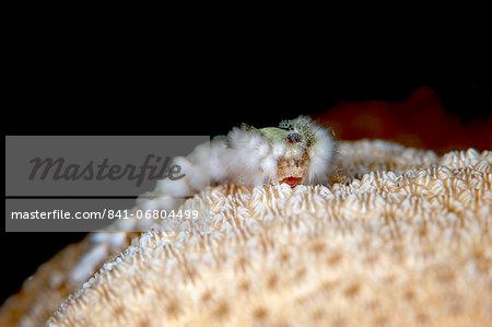 Fireworm (Hermodice carunculate), Dominica, West Indies, Caribbean, Central America