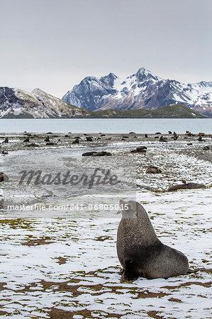 Antarctic fur seal (Arctocephalus gazella) amongst remains of the abandoned Stromness Whaling Station, South Georgia Island, South Atlantic Ocean, Polar Regions