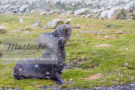 Antarctic fur seal (Arctocephalus gazella) bulls establishing mating territories at the abandoned Grytviken Whaling Station, South Georgia Island, South Atlantic Ocean, Polar Regions