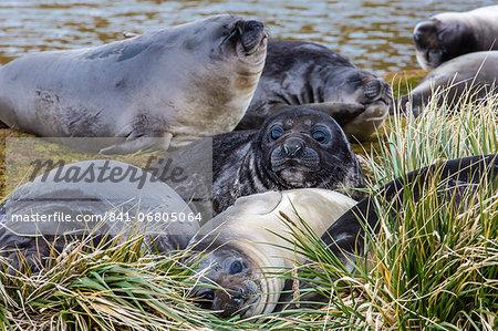 Southern elephant seal (Mirounga leonina) pups, Peggotty Bluff, South Georgia, South Atlantic Ocean, Polar Regions