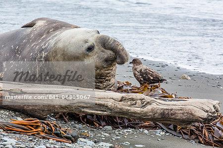 Southern elephant seal (Mirounga leonina) bull with skua, Peggotty Bluff, South Georgia, South Atlantic Ocean, Polar Regions