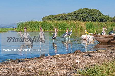 Marabou storks (Leptoptilos crumeniferus) and white pelicans (Pelecanus onocrotalus), Awasa harbour, Ethiopia, Africa