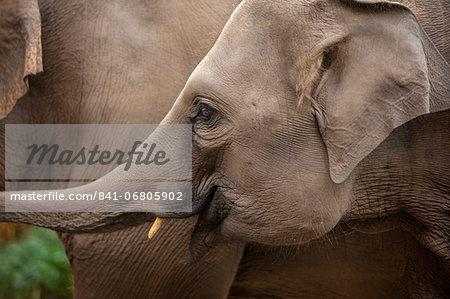 Elephants, Golden Triangle, Thailand, Southeast Asia, Asia