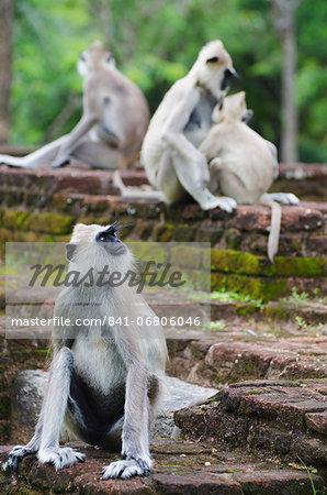 Tufted grey langurs (Semnopithecus priam), Polonnaruwa, North Central Province, Sri Lanka, Asia