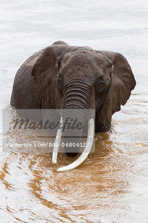Elephant (Loxodonta africana) in the river, Masai Mara National Reserve, Kenya, East Africa, Africa