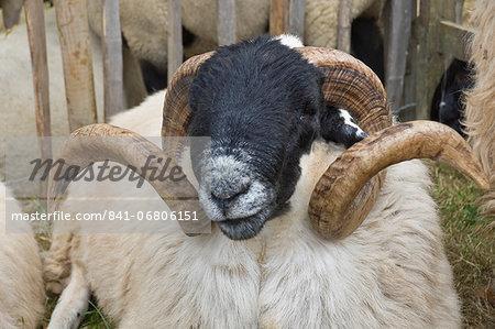 Dartmoor sheep, ram's head with curly horns, Widecombe Fair, Dartmoor, Dartmoor National Park, Devon, England, United Kingdom, Europe