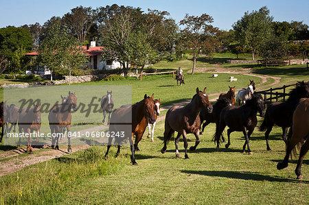 Horses at Estancia Los Potreros, Cordoba Province, Argentina, South America