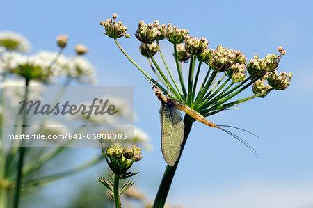 Green drake mayfly (Ephemera danica) newly emerged on a riverside umbel flowerhead in May, Wiltshire, England, United Kingdom, Europe