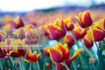 Close-up of Tulips (Tulipa) in Spring, Styria, Austria