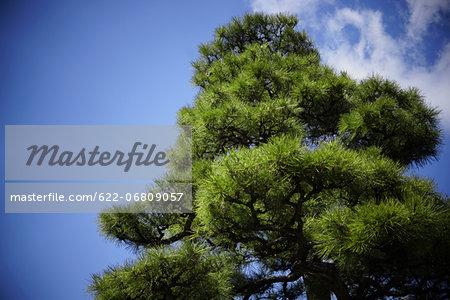 Blue sky and pine, Osaka Prefecture