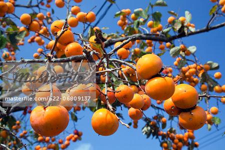 Persimmon fruits, Kumamoto Prefecture