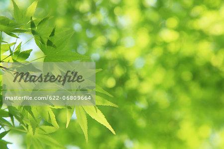 Green maple leaves
