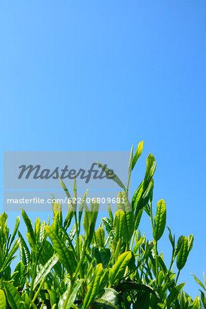 Tea leaves and blue sky