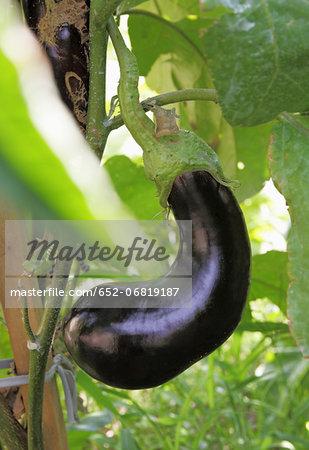Eggplant on the plant